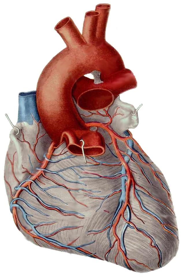серце людини фото